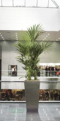 Kentia howea forsteriana in a Planter