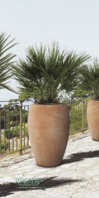 Chamaerops humilis in a Ceramic Planter