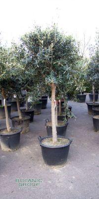 Olea europea - Olivenbaum Kugel auf Stamm