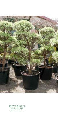 Enkianthus perulatus bonsai - Prachtglocke Gartenbonsai