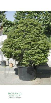 Enkianthus perulatus  - Prachtglocke