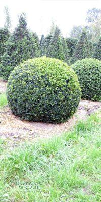 Buxus sempervirens 'arborescens' - Kugel- Schnitt