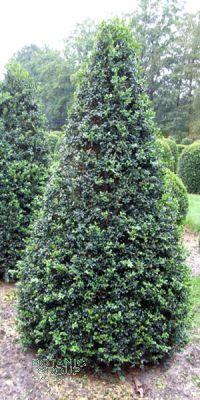 Buxus sempervirens arborescens - Kegel- Schnitt