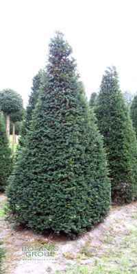Taxus baccata - European Yew, cone