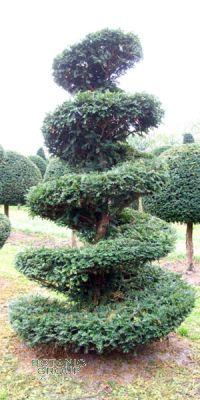 Taxus baccata - Europäische Eibe, Spirale