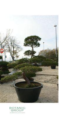 Taxus cuspidata Bonsai - Japanischer Gartenbonsai