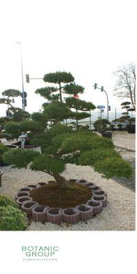 Gartenbonsai - Taxus cuspidata Bonsai