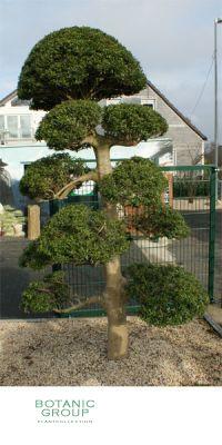 Gartenbonsai - Ilex crenata Macrobonsai