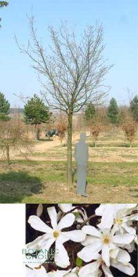 Magnolia kobus - Kobushi-Magnolie