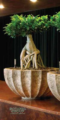 Ficus microcarpa ginseng in a Planter