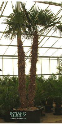 Trachycarpus fortunei - Chinesische Hanfpalme