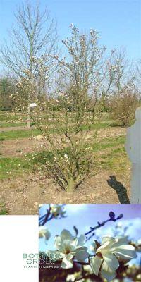 Magnolia loebneri Merrill - Magnolie