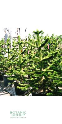 Araucaria araucana - Chilenische Schmucktanne