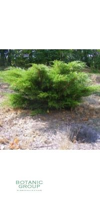 Juniperus Chinensis Kuriwao Gold - Chinesischer Goldwacholder