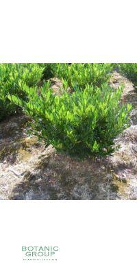 Prunus laurocerasus Otto Luyken - Lorbeerkirsche, Strauch