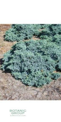 Juniperus squamata Blue Carpet - Blauer Kriech-Wacholder