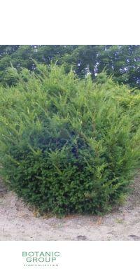 Taxus cuspidata Nana - Japanische Eibe Eibe, Heckenpflanze