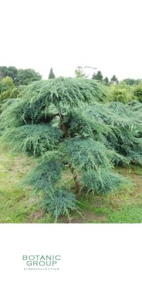 Juniperus squamata Blue Carpet Bonsai -