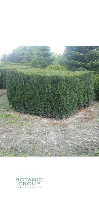 Taxus baccata - European Yew, Cube XXL