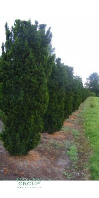Taxus media Stricta Viridis