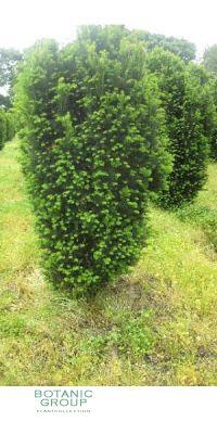 Taxus baccata Erecta Gracilis - Echte Säuleneibe