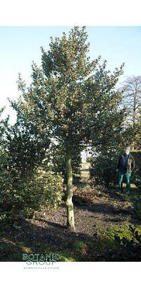Ilex aquifolium Aurea Marginata - Hochstamm, Rarität