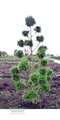 Gartenbonsai - Cupressocyparis leylandii - Baumzypresse