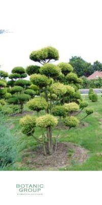 Chamaecyparis pisifera Plumosa Aurea -  Gelbe Mooszypresse