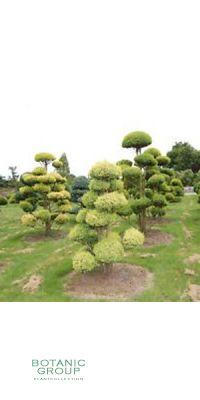 Chamaecyparis pis. Plumosa Aurea -  Mooszypresse, Gartenbonsai