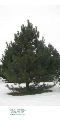 Pinus nigra Austriaca - Österreichische Schwarzkiefer XXL