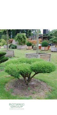 Juniperus media mint Bonsai -
