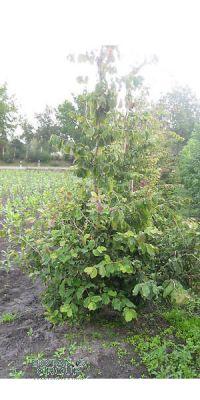 Parrotia persica - Eisenholzbaum, Stammbusch
