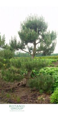 Pinus sylvestris Norske Pre Bonsai - Garten Bonsai Vorschnitt