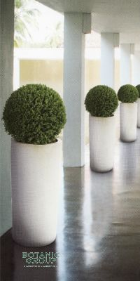 Buxus sempervirens in a Planter