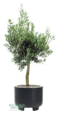 Olea Europaea im Pflanzgefäß, Pflanze mit Pflanzgefäß