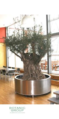 Olea europea - Olive tree in a high-grade steel container
