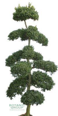 Ilex crenata Bonsai im exklusiven Pflanzgefäß
