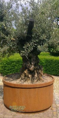 Olea europea - Olive tree in a corten steel container
