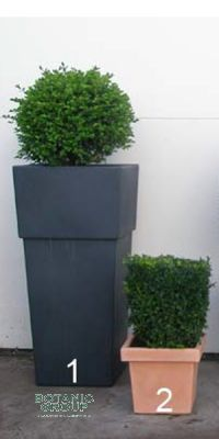 Buxus sempervirens various shapes in a Planter
