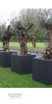 Olea europea - Olive tree in a Glass-reinforced plastic planter