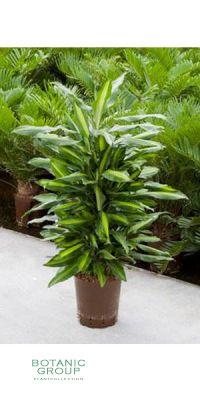 Dracena cintho- Drachenbaum verzweigt, Zimmerpflanze