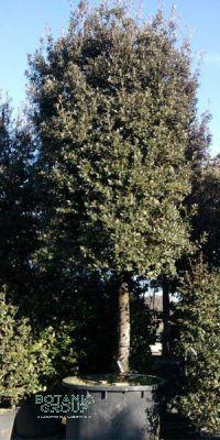 Quercus ilex - Steineiche, XXL Solitär, Großbaum