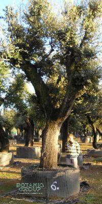Quercus ilex - Steineiche, XXL GIGANT, Großbaum