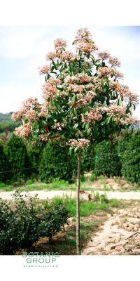 Photinia serrulata Red Robin