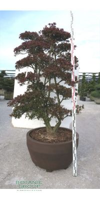 Rhododendron indicum Satsuki Azalea Bonsai - Bonsai Japanese Garden
