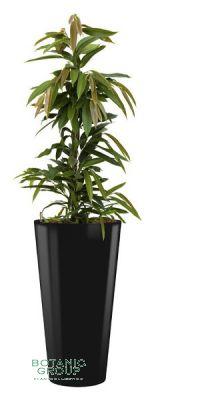 Ficus amstel king im Kunststoffpflanzgefäß