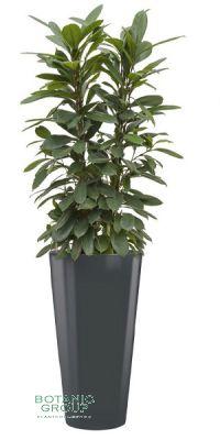 Ficus cyathistipula im Pflanzgefäß