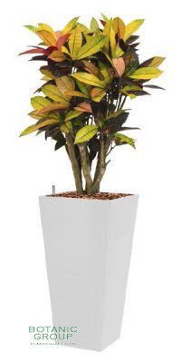 Croton (codiaeum) iceton im Pflanzgefäß