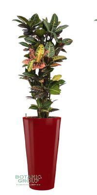 Croton (codiaeum) petra im Pflanzgefäß
