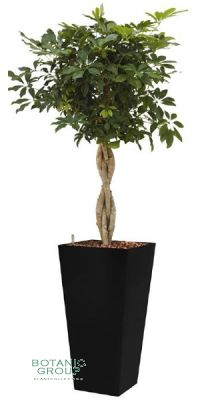 Schefflera arboricola im Pflanzgefäß